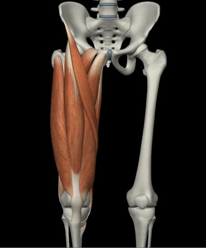 膝周りの筋肉